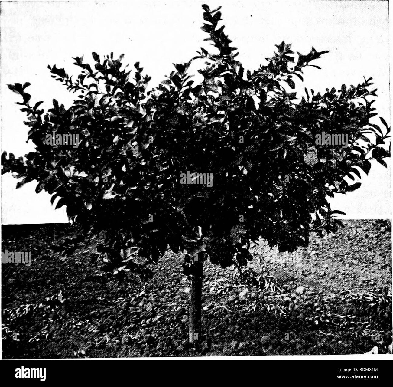 81d54ed81b5b . Culture of the citrus in California. Citrus fruits  Fruit-culture. THE  LEMON IN CALIFORNIA—PRUNING. 193