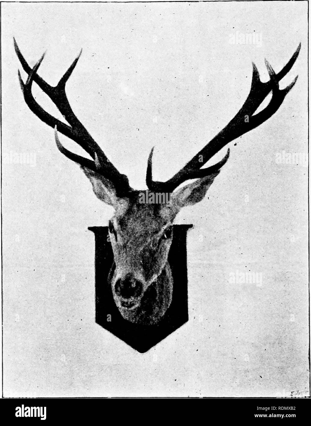 """. Wild Spain (Espan?a agreste): records of sport with rifle, rod, and gun; natural history and exploration. Natural history; Hunting; Game and game-birds. 414 """"WILD SPAIN. drops of blood, all enveloped in sand, quite indiscernible to my eye, were instantly detected by the guardas. The dogs were laid on, and within a few minutes we heard the crash which told of the stag at bay. The final scene was. A FIFTEKN-l'OINTER. just completed when I reached the spot—on foot, for in the rough scramble through forest and broken ground I had managed to get thrown, gun and all, and preferred to finish t - Stock Image"""