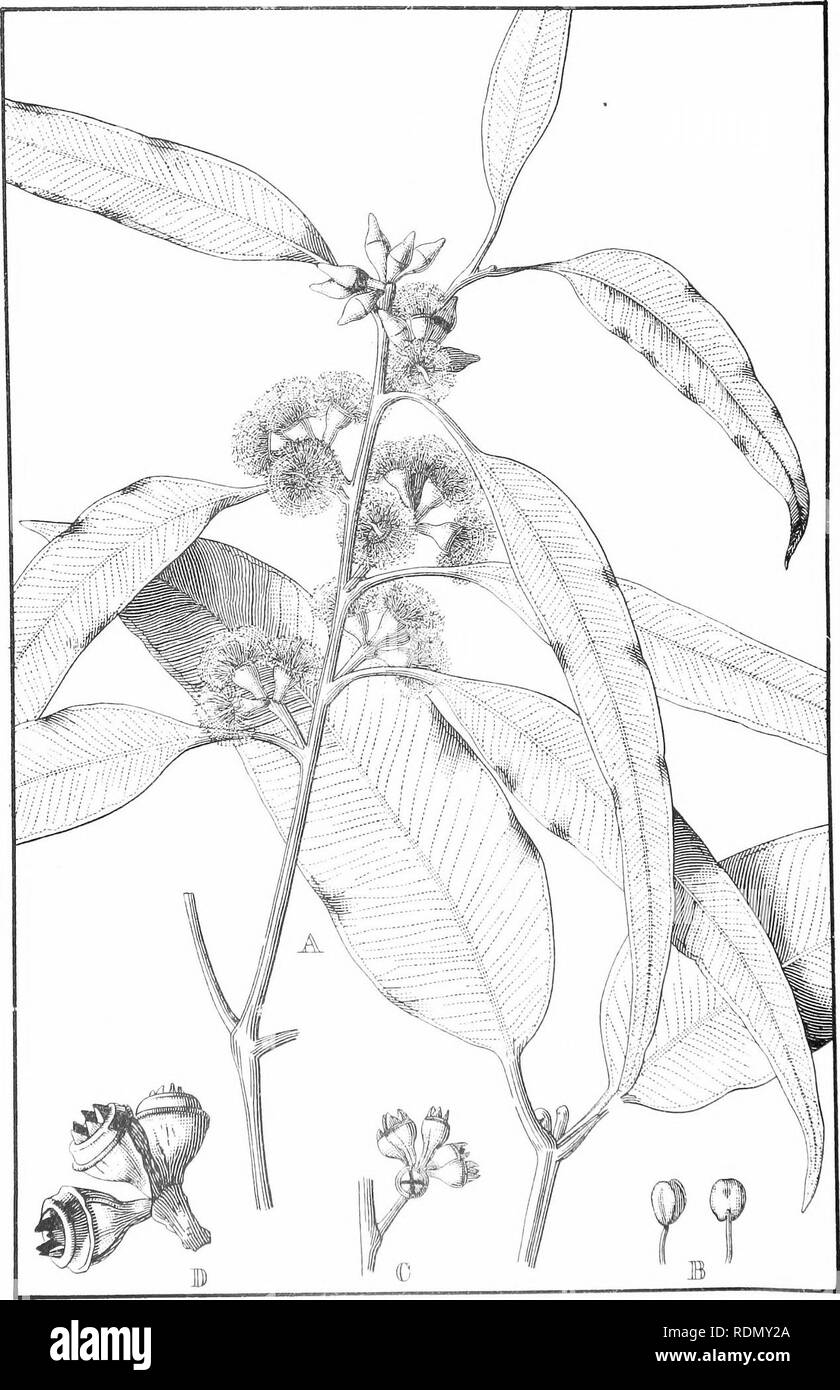 . Forestry handbook ... Forests and forestry; Forests and forestry; Trees. F. Fl.. Bl. 11.. EUCALYPTUS RESINIFERA, Sm. (The Red Mahogany.). Please note that these images are extracted from scanned page images that may have been digitally enhanced for readability - coloration and appearance of these illustrations may not perfectly resemble the original work.. New South Wales. Dept. of Lands. Forestry branch; Hay, R. Dalrymple; Maiden, J. H. (Joseph Henry), 1859-1925. Sydney, W. A. Gullick, government printer - Stock Image