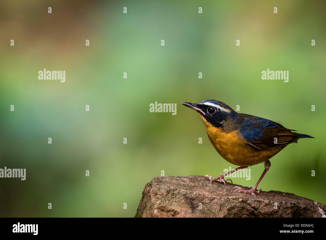 The Tiny Colorful Bird! - Stock Image