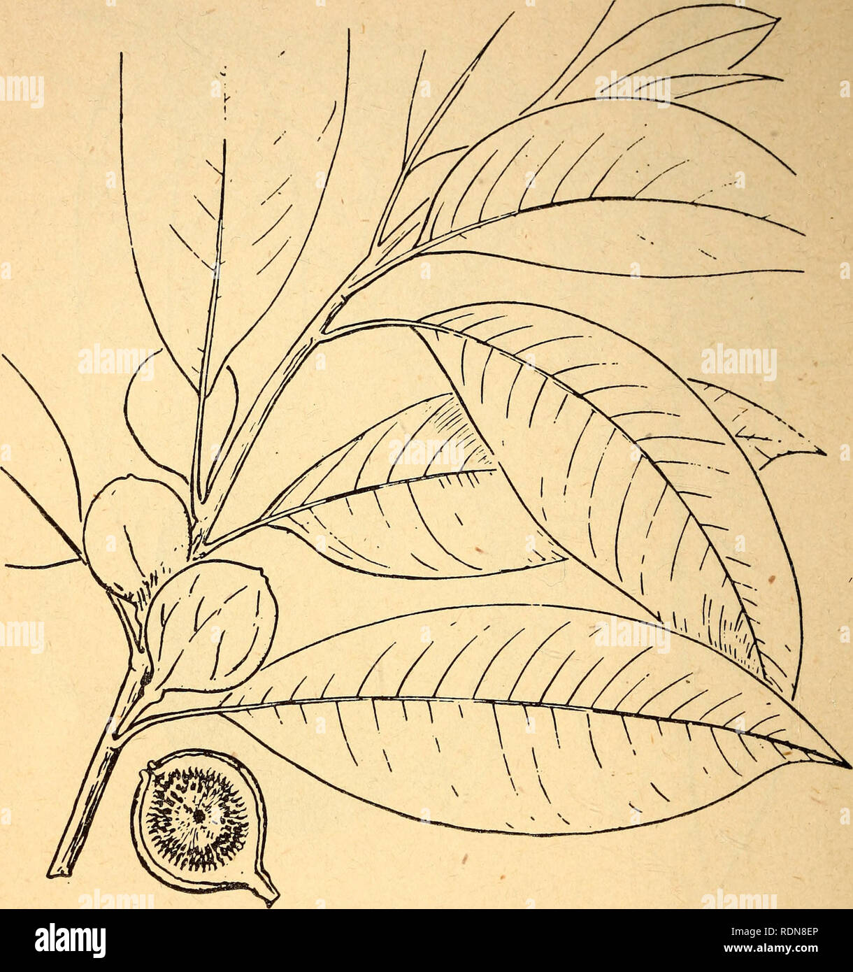 Edible And Poisonous Plants Of The Caribbean Region Plants