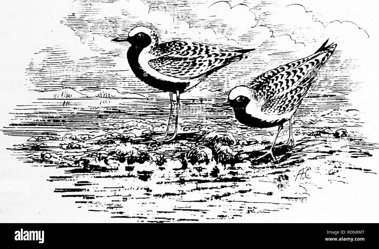 . Wild Spain (Espan?a agreste): records of sport with rifle, rod, and gun; natural history and exploration. Natural history; Hunting; Game and game-birds. THE BjETICAN WILDERNESS—MAY. 89 May 8th, 1872.—A remarkable passage of waders occurred to-day: the banks of the Guadalete swarmed with bird- life, some of the oozes crowded with plovers, &c., as thick as they could stand. A mixed bag included whimbrels, grey plovers, ring-dotterel, curlew-sandpiper, sand-grouse, &c. Many of the Grey Plovers were superb specimens in perfect black-and-white plumage, and the Curlew-Sand- pipers in riche - Stock Image