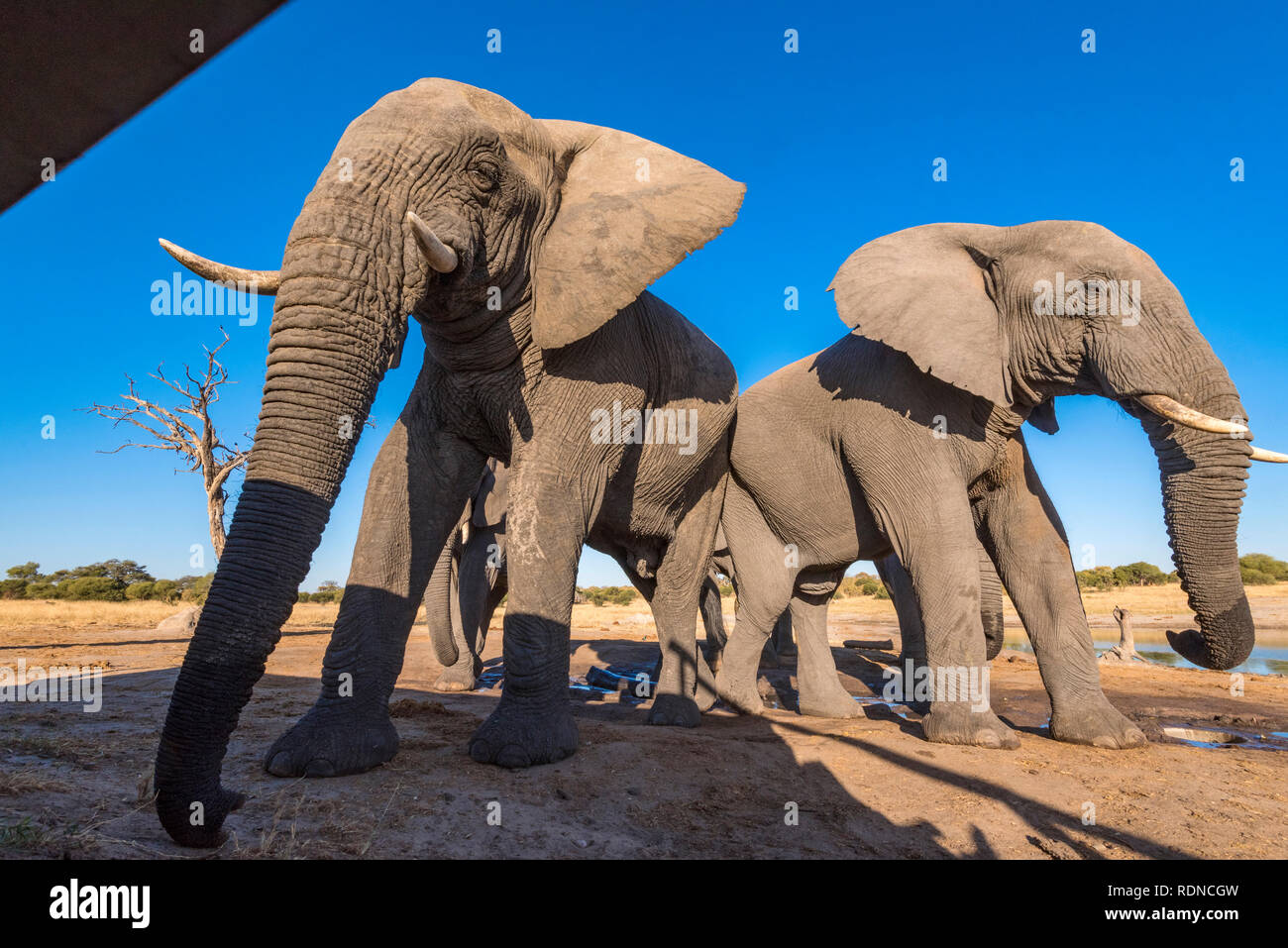 African elephant seen from a undertground hide in Zimbabwe's Hwange National Park. Stock Photo