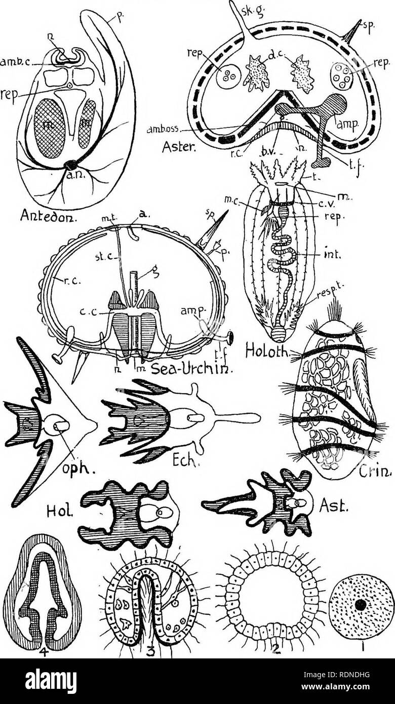 . Outlines of zoology. Textbooks; Zoology. Diagr-am XI.. Please note that these images are extracted from scanned page images that may have been digitally enhanced for readability - coloration and appearance of these illustrations may not perfectly resemble the original work.. Thomson, J. Arthur (John Arthur), 1861-1933. New York, D. Appleton & Co. Stock Photo