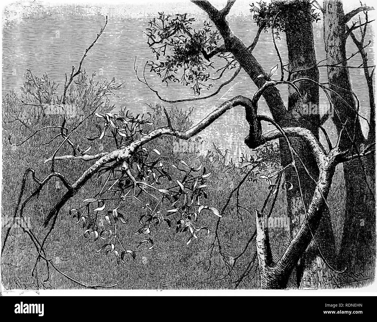 . The natural history of plants, their forms, growth, reproduction, and distribution;. Botany. 206 MISTLETOES AND LORANTHUSES. sight, is surprising, that Mistletoe-plants are rarely seated upon the upper surface of branches, but very frequently on the sides. For the dung of thrushes, which live upon Mistletoe-berries, is in the form of a semi-fluid, highly viscid mass, ductile like bird-lime; and, even when it is deposited upon the upper surface of slanting branches, it immediately runs down the sides, sometimes extending in ropes 20 or 30 centimeters in length. Owing to the viscous mass thus  - Stock Image