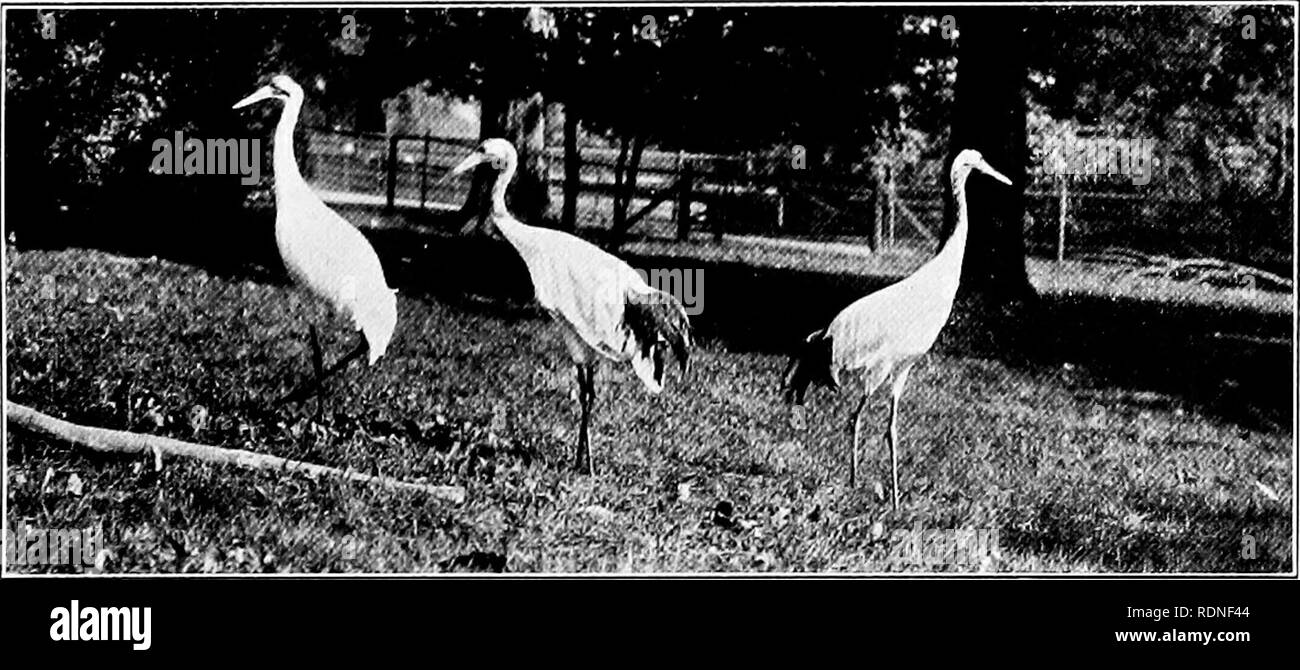 . Pets; their history and care. Pets. Crowned Crane Paradise Crane. Whooping and ATanchurian Cranes te»:j[ 1 ? Ik ts v^^ m^^l ^^ [t-M^^S^^Y^PI Wles^^SiSI&'S^ PlKE;^sf ^^^^ Photograp}i by WHp.s Demoiselle Cranes and Young (Property of Mr. I^ercy Warner). Please note that these images are extracted from scanned page images that may have been digitally enhanced for readability - coloration and appearance of these illustrations may not perfectly resemble the original work.. Crandall, Lee S. (Lee Saunders), 1887-1969; Evans, Howard E. fmo; Cornell University. College of Veterinary Medicine. Flo Stock Photo