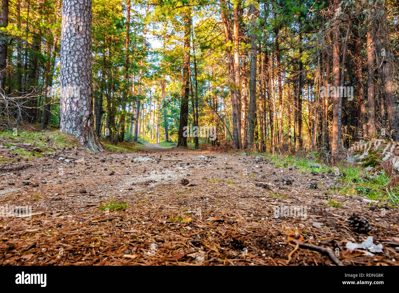 Wild pine trees in the Sierra de Guadarrama. Segovia Spain Stock Photo
