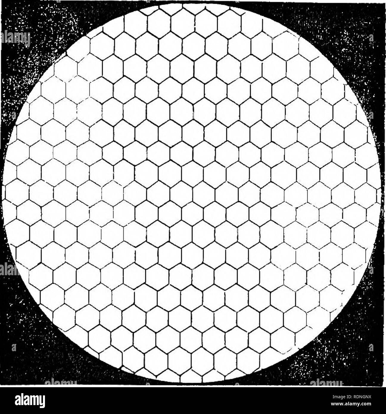 . The bee and white ants, their manners and habits; with illustrations of animal instinct and intelligence. Bees; Instinct; Termites. THE BEE. tkus a geometrical figure, having as mucli regularity as the hexagonal tube, of which it forms the termination, but constraoted Fig. 21.. on a totally different principle. The angles of the lozenges, which form its sides, are one obtuse and the other acute ; and these pyramidal bases of the cells, on one side of the comb, fit into corresponding cavities, made by the similar pyramidal bases of the cells, on the other side of the comb, so as to leave no i - Stock Image