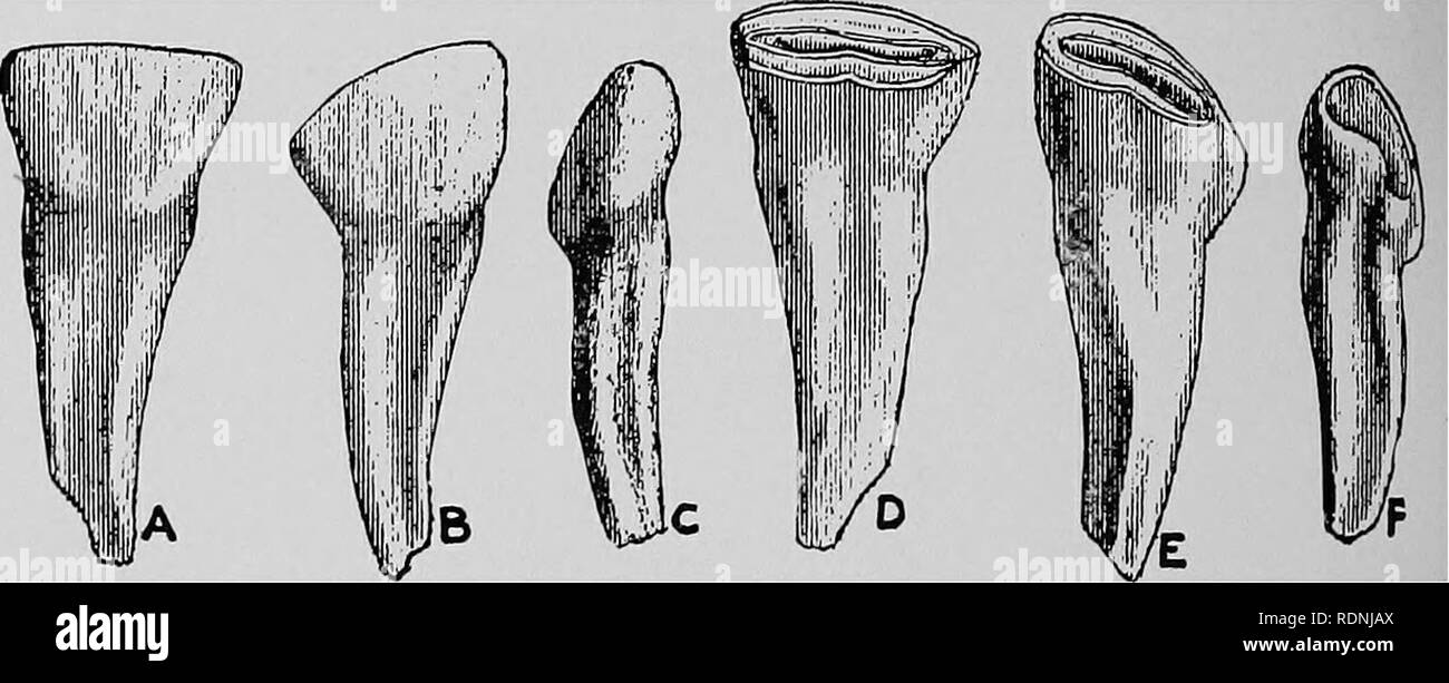 . Veterinary surgery ... Veterinary surgery; Veterinary pathology; Horses; Teeth; Domestic animals. 50 ANIMAL DENTISTRY. of wear until at the age of two and a half years there remains only a loosened shell. LATERAL INCISORS. The lateral incisors make their appearance at from four to six weeks, gain the level of the arcade at four months, and are replaced by permanent incisors at three and a half years. CORNER INCISORS. The comer incisors appear on the buccal surface at about. Fig. 34- Temporary Incisor Teeth of a Horse. A, B, C. Labial surface of central, lateral and corner. D, E, F. Lingual s - Stock Image