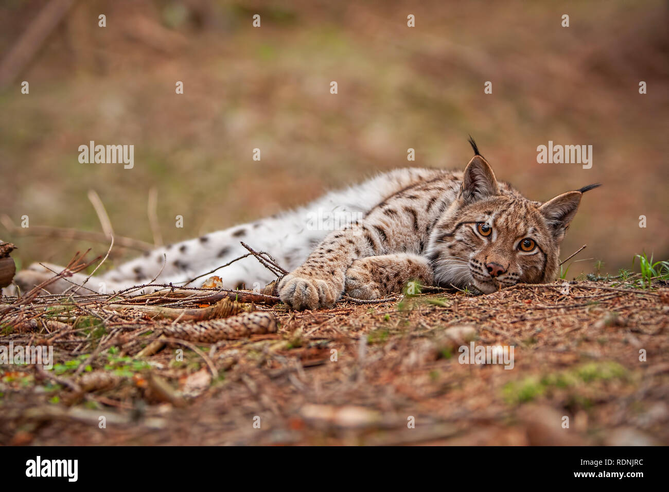 Eursian lynx laying on the ground in autmn forest with blurred background. Stock Photo