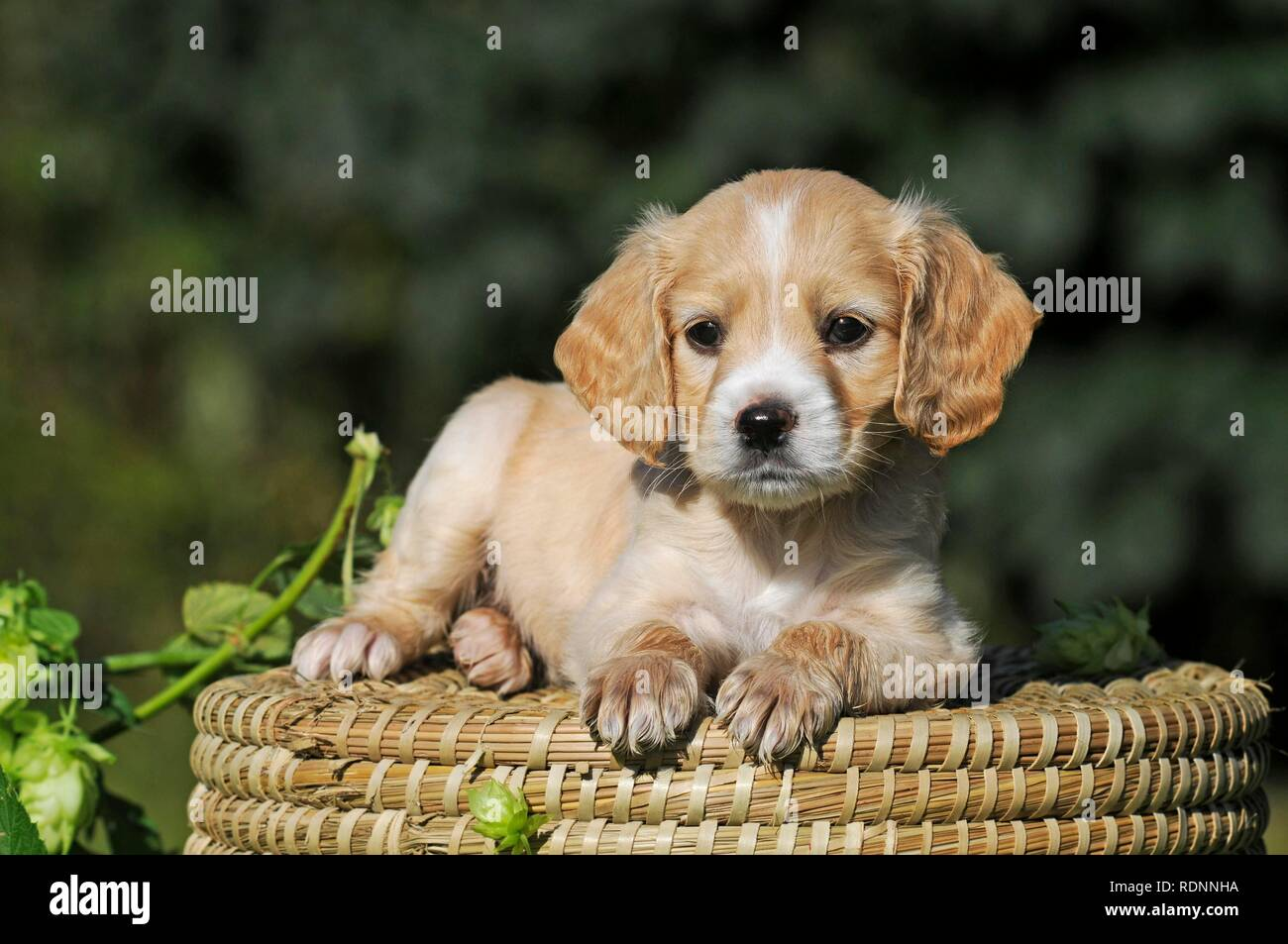 Spaniel Mongrel High Resolution Stock Photography And Images Alamy