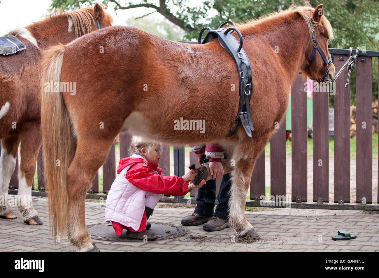 Young girl cleaning the hooves of a pony - Stock Image