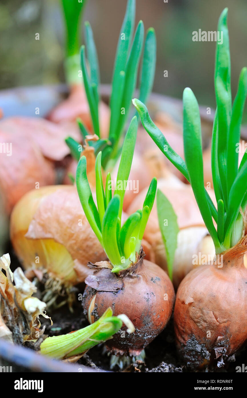 Sprouting onions. Onion, young green arrow. - Stock Image