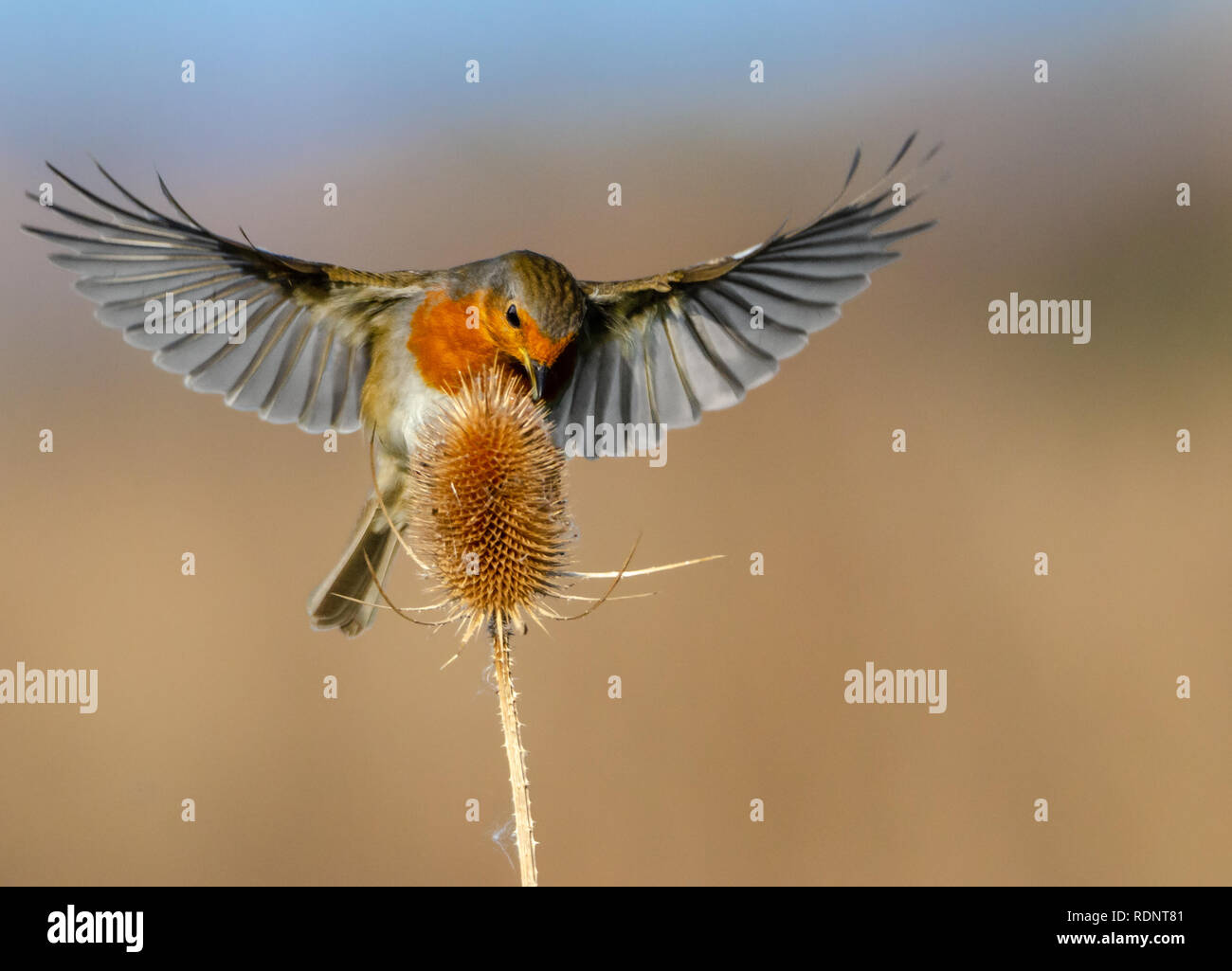 A Robin and a Teasel - Stock Image