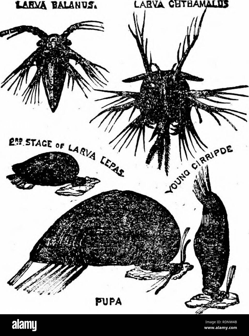 """. Science from an easy chair; a second series. Science; Natural history. MITES AS DECADENT SPIDERS '295 specialised, yet are more, not less, capable in consequence. But they are at a perilous point of perfection. In the animal series, as in the history .of art, decadence often follows suddenly upon periods of the highest attainment, and ia virtue of the same law of development. From the spiders'have arisen small spider-like creatures—the mites and tics—which no longer, """" trapi"""".or hunt their prey, but have learnt to attach themselves to the bodies of larger L&By& lAUNW. LABVA - Stock Image"""