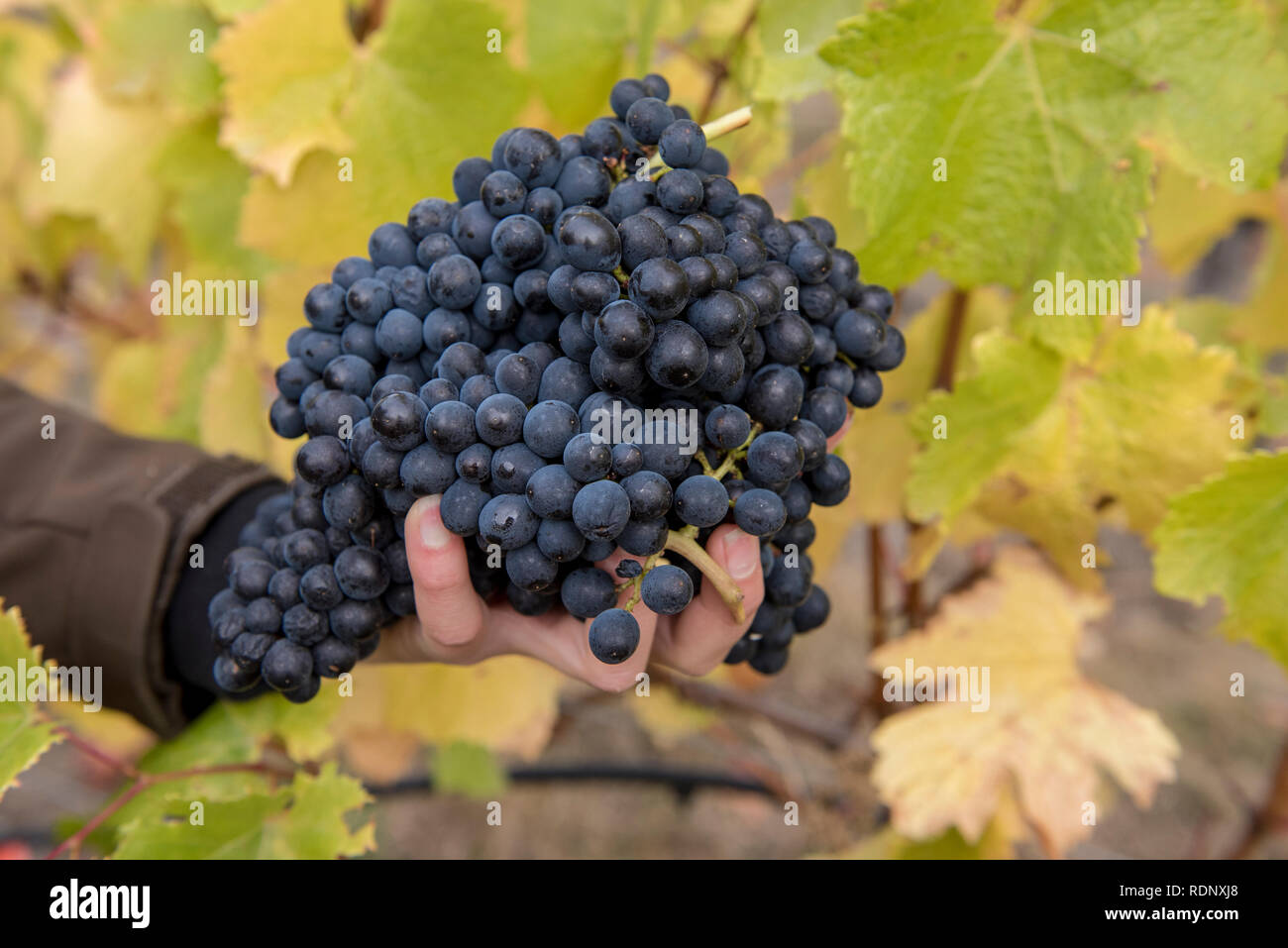 Harvesting ripe bunches of grapes in a vineyard in Wanaka, South Island, New Zealand. Stock Photo