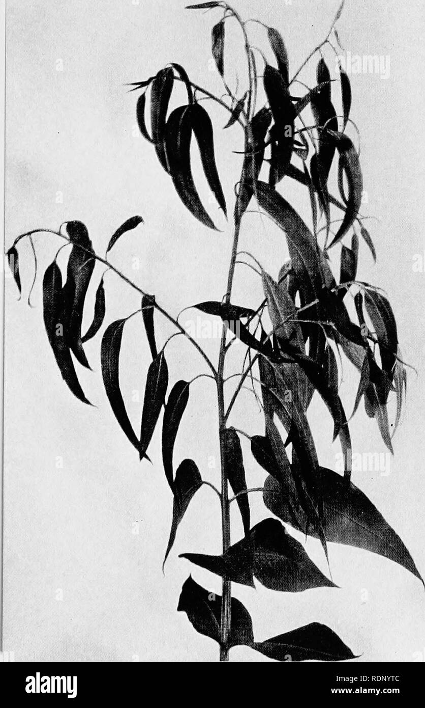 . Luther Burbank, his methods and discoveries and their practical application;. Plant breeding. An Ancestral Secret When the rapid growing eucalyptus tree pushes out its leaves it discloses one of the secrets of its ancestry. Some of the leaves, like those at the top of ttie branch pictured above, are narrow and long. Others, lower down, are much broader. On a single tree it is common to find five or six different kinds of leaves seeming, when laid side by side, as though they must have come from separate plants. The history of the eucalyptus, as disclosed by its leaves, its quick growth, and  - Stock Image