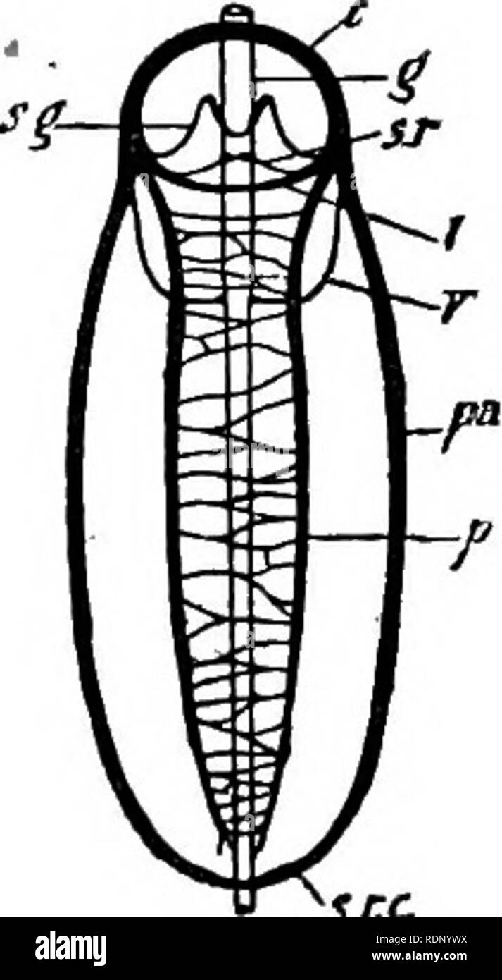 . Outlines of zoology. Zoology. Fig. 162. — Chiton. After Prgtre.. s,rc Fig. 163.—Dorsal view of nervous system of Chiton. — After Pel- seneer. c, Cerebral commissure; g., gut (above all the com - missures except cerebral and supra-rectal) ; pa., pallial or visceral loop, with supra - rectal com- missure (s.r.c.);/., pedal nerves united by numer- ous transverse branches; s.g., stomato-gastric com- missure ; s.r.t subradular commissure ; /., labial commissure ; v., visceral commissure. id§. la. / / yo? b.v.g. Fig. 164.—Proneomenia. Ner- vous system. — From Hub- recht. e.g.. Cerebral ganglia; sl - Stock Image