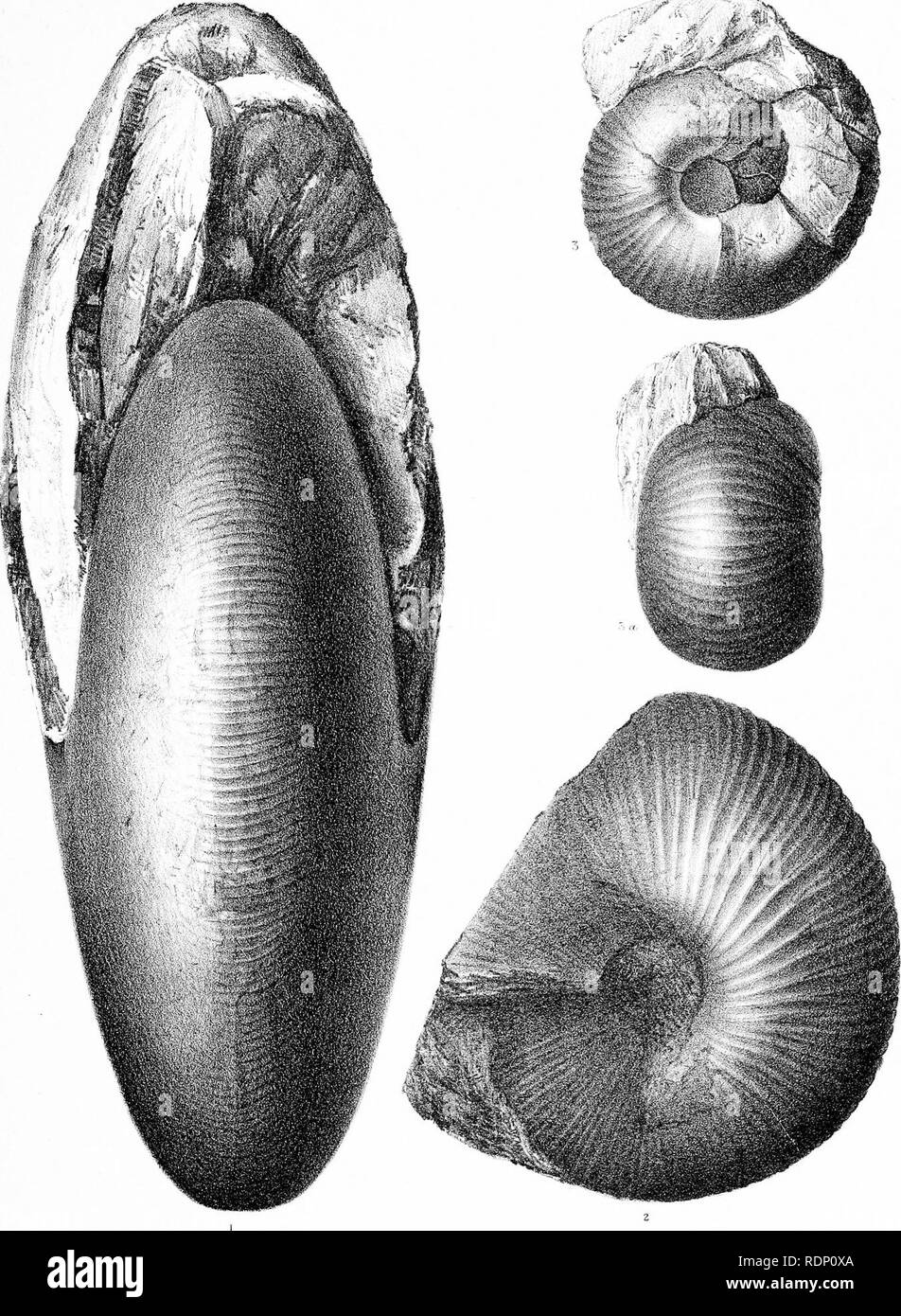 . Fauna of Baluchistan and N. W. frontier of India. Vol I. The Jurassic fauna. Paleontology; Paleontology; Paleontology. JURASSIC FOSSILS OF BALUCHISTAN. Oeolog'ical Survey of India. PI. ,iX. Frmled at llie Creol. S-or'/, Office Kali Dhan Chandra Del. &Lith.. Please note that these images are extracted from scanned page images that may have been digitally enhanced for readability - coloration and appearance of these illustrations may not perfectly resemble the original work.. Noetling, Fritz, b. 1857. Calcutta, Geological Survey Office; [etc. , etc. ] - Stock Image