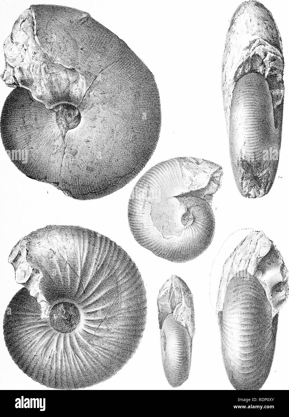 . Fauna of Baluchistan and N. W. frontier of India. Vol I. The Jurassic fauna. Paleontology; Paleontology; Paleontology. JURASSIC FOSSILS OF BALUCHISTAN. Geological Survey of India Pl.VIT.. Kali Dhaji Chandra, Del. & LiUi , Printed a,t tilt Geo!. Suj-v, Office-. Please note that these images are extracted from scanned page images that may have been digitally enhanced for readability - coloration and appearance of these illustrations may not perfectly resemble the original work.. Noetling, Fritz, b. 1857. Calcutta, Geological Survey Office; [etc. , etc. ] - Stock Image