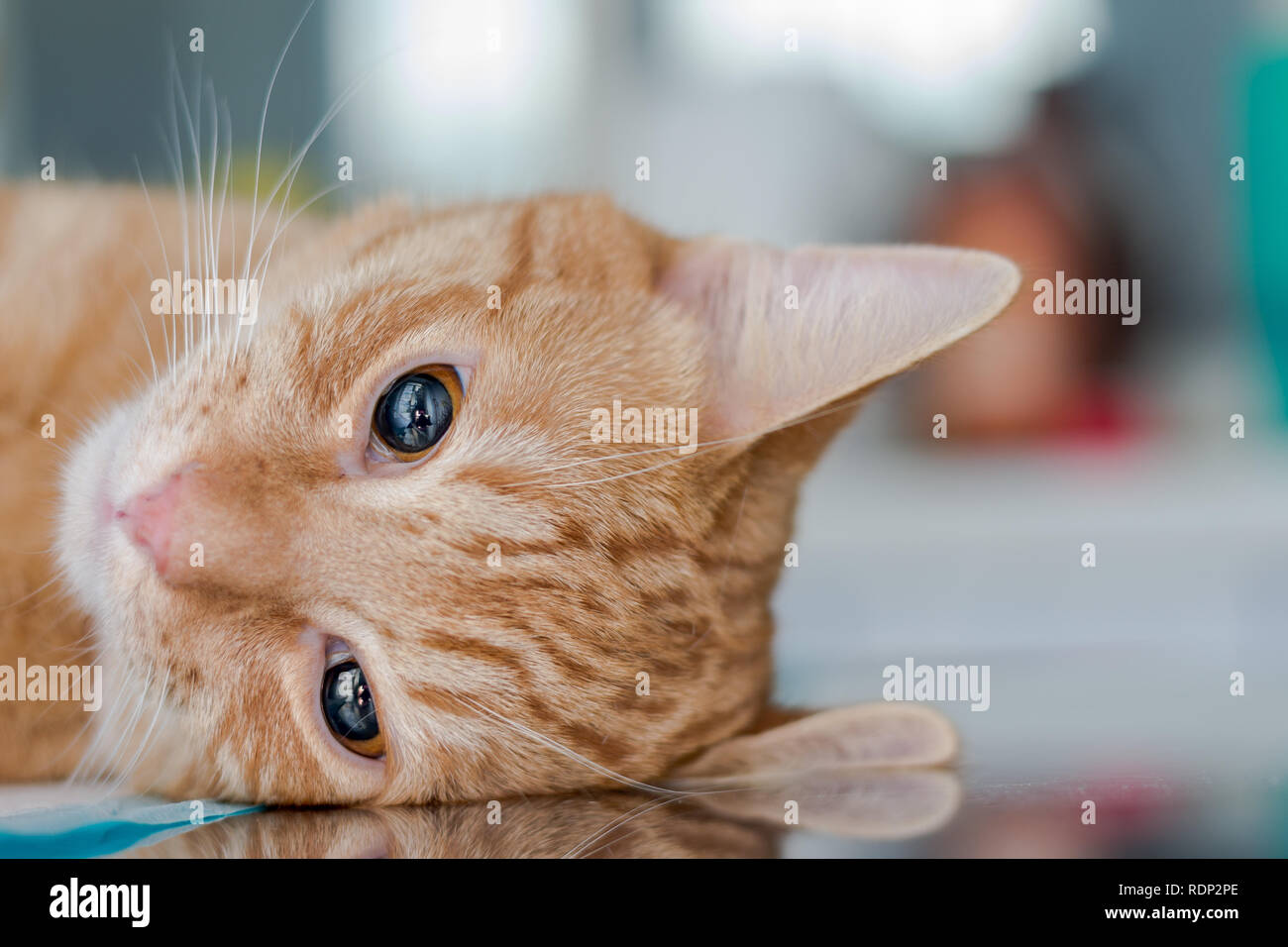 Adult Ginger cat, sedated on table at the veterinary clinic with ketamine - Stock Image