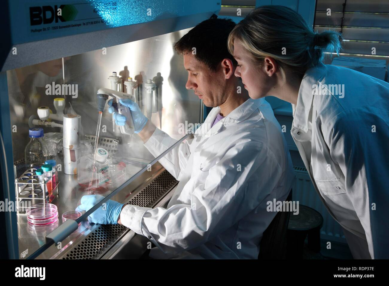 Biotechnology laboratory, laminar flow, a scientist is pipetting a cell culture medium into a petri dish, Centre for Medical Stock Photo