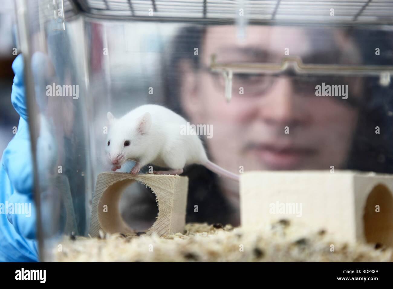 Mouse bred for experimental purposes, Centre for Medical Biotechnology of the University Duisburg-Essen, North Rhine-Westfalia - Stock Image