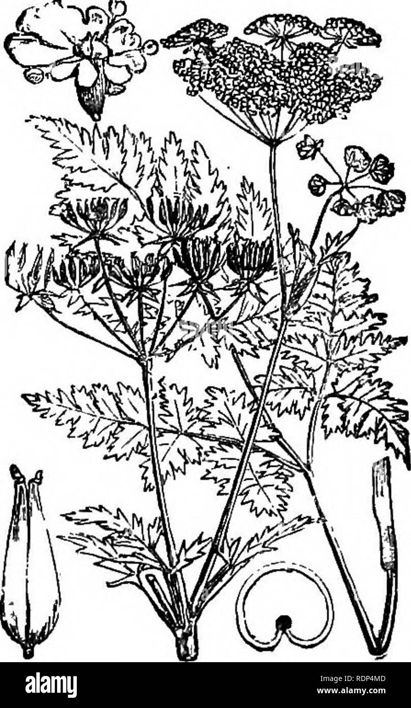 . Scientific lectures. Science; Natural history; Archaeology. 22 ON FLOWERS AND INSECTS. [lect. pistil, on which it could hardly fail to deposit some pollen, had it previously visited another plant. It would then press its proboscis up the bell, in doing which it would pass between two of the spokes, and pressing them apart, would dislocate the ring of anthers : a shower of pollen would thus fall upon the open cells on to the head of the bee. In many cases the effect of the colouring and scent is greatly enhanced by the asso- ciation of several flowers in one bunch, or raceme; as for instance  - Stock Image