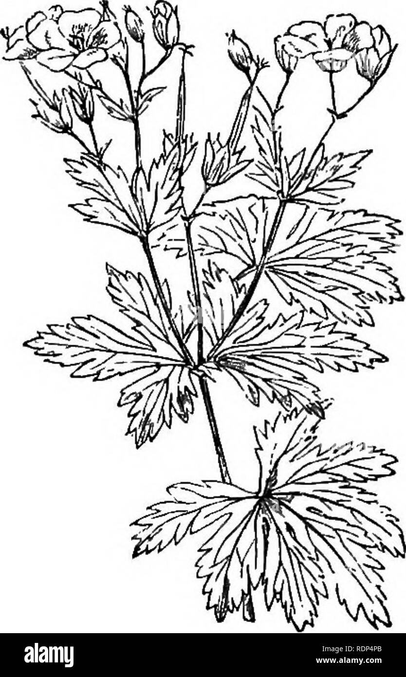 . Scientific lectures. Science; Natural history; Archaeology. Fig. 5.—. Fig. 6.—Geranium sylvaticum. instance in Lychnis vespertina (Fig. 5) or Silene nutans. Night flowers, moreover, are generally pale; for instance, Lychnis vespertina is white, while Lychnis diurna, which flowers by day, is red. Indeed, it may be laid down as a general rule that those flowers which are not fertilized by insects, as for instance those of the Beech, Oak, and most other forest trees, are small in size, and do not possess either colour, scent, or honey.. Please note that these images are extracted from scanned p - Stock Image