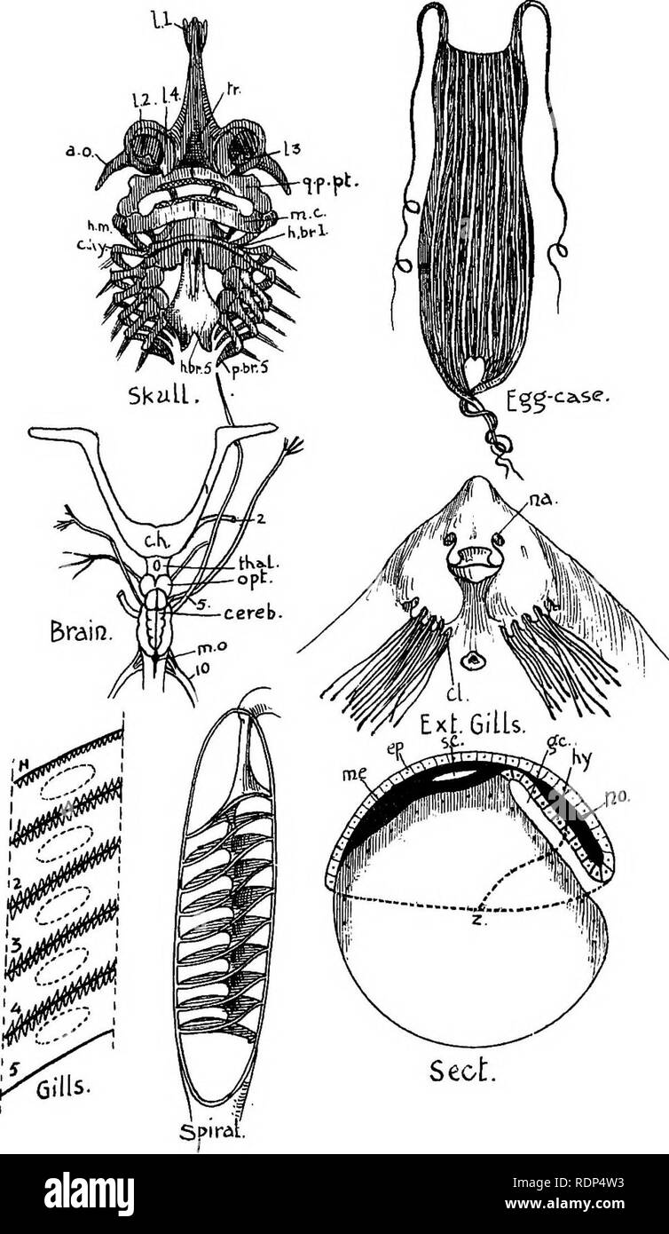. Outlines of zoology. Textbooks; Zoology. Diagram XXVI. Lldismobrdkncks.. Please note that these images are extracted from scanned page images that may have been digitally enhanced for readability - coloration and appearance of these illustrations may not perfectly resemble the original work.. Thomson, J. Arthur (John Arthur), 1861-1933. New York, D. Appleton & Co. Stock Photo