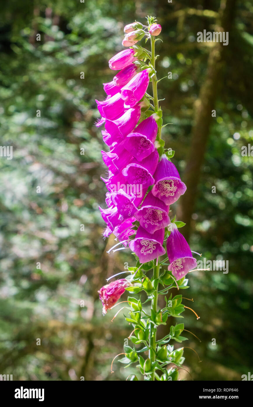 Foxglove (Digitalis purpurea) blooming in the forests of South Slough National Estuarine Research Reserve, Coos Bay, Oregon - Stock Image