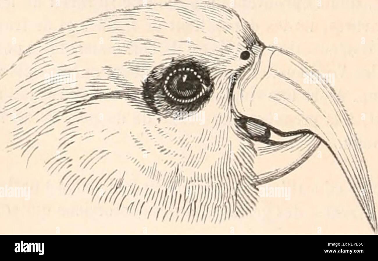 . Encyclopédie d'histoire naturelle; ou, Traité complet de cette science d'après les travaux des naturalistes les plus éminents de tous les pays et de toutes les époques: Buffon, Daubenton, Lacépède, G. Cuvier, F. Cuvier, Geoffroy Saint-Hilaire, Latreille, De Jussieu, Brongniart, etc. etc. Natural history. r.EEF-cTH? Fig. 293 et 294 â Kakatoès Eos. (Mâle et femelle.: plumes scapulaires, le dessous de la queue et les barbes internes des pennes alaires sont d'un jaune de soufre , le bec est couleur de chair (Desmarest). 5-e GENRE. - LICMÃTIS. LICMETIS. (Wagler.) CARACTERES GÃNÃRIQUES. B - Stock Image