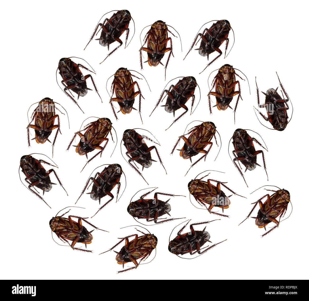 Dead Cockroaches on White Background - Stock Image