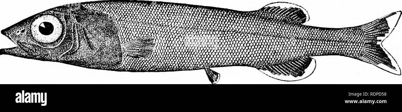 . Fishes. Fishes. 284 Isospondyli As in the Osteoglossidcs and in the Siluridm, the subopercle is wanting in Pantodon. The AlepocephalidcB are deep-sea herring-like fishes very- soft in texture and black in color, taken in the oceanic abysses. Some species may be found in almost all seas below the depth. Fig. 317.—Alepocephalus agassizii Goode &, Bean. Gulf Stream. of half a mile. Alepocephalus rostratus of the Mediterranean has been long known, but most of the other genera, Talis- niania, Mitchillina, Conocara, etc., are of very recent discovery, having been brought to the surface by the  - Stock Image