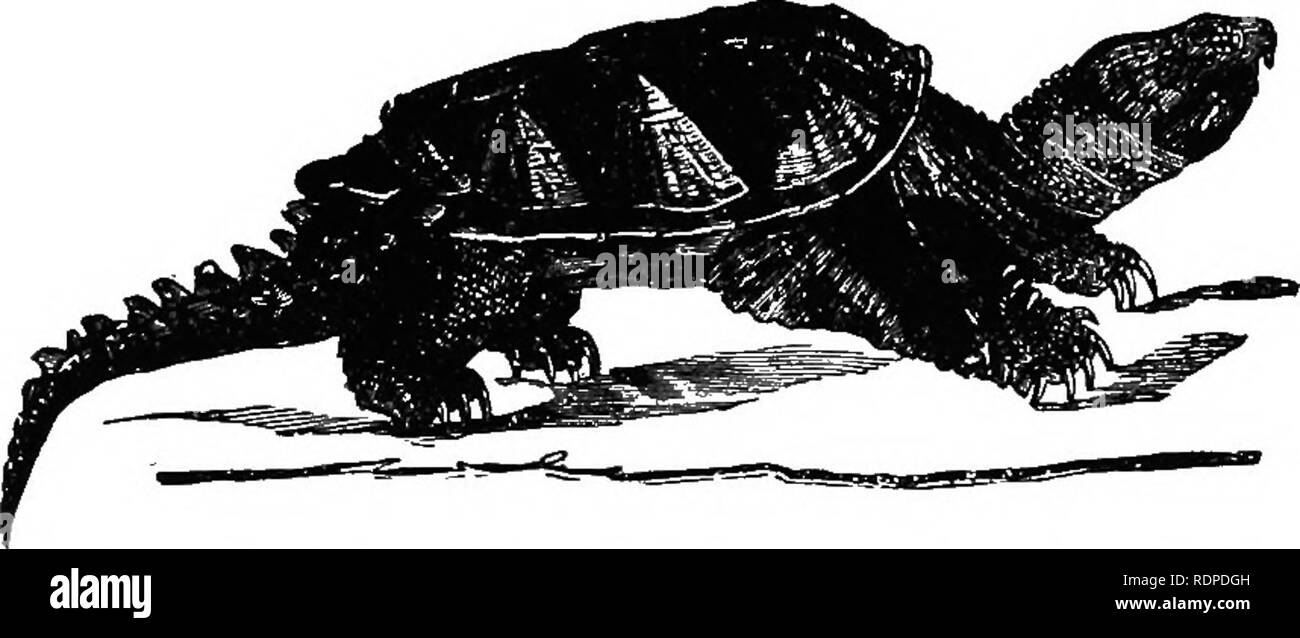 . Text book of vertebrate zoology. Vertebrates; Anatomy, Comparative. REPTILES. 3 11 food. All of these occur in the warmer Atlantic, the tortoise-shell ranging to the Indian Ocean, and all occasionally occur on our shores. Testudi- NID^, carapace strongly arched; plastron very broad; five toes in front, four behind. Terrestrial, represented in southern U. S. by the gopher turtle, Xerobatespolyphemus. Here also belong the giant tortoises (Tes- tudo elephaniopus, etc.) of the Galapagos Islands and Mozambique, and the colossal fossil, Colossochelys atlas, of the upper miocene of India, which was - Stock Image