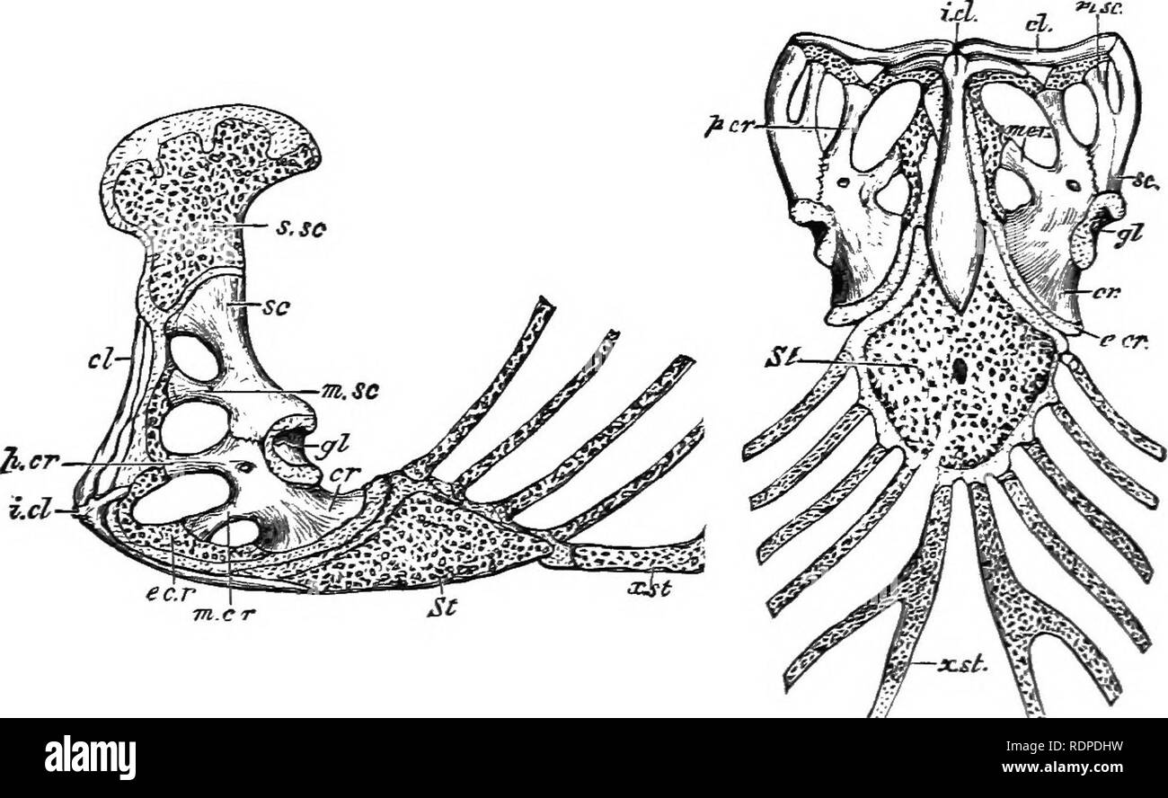 . Text book of vertebrate zoology. Vertebrates; Anatomy, Comparative. 300 CLASSIFICATION OF VERTEBRATES. this bone may be either freely movable or firmly united by suture to the adjacent bones, the first condition occurring only in snakes and lizards.^ The two rami of the lower jaw are usually united by ligament or by suture, but in turtles and pterodactyls the two are fused. Frequently vacuities occur in the jaw, and usually the component bones can be distinguished. In a few dinosaurs a predentary or mento-meckelian bone occurs at the symphysis of the lower jaw (Fig. 310).. Fig. 296. Sternum  - Stock Image