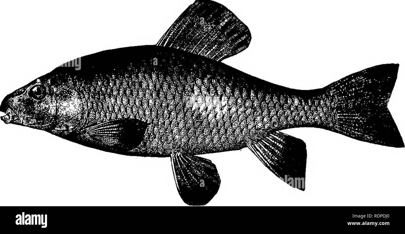 """. American fishes; a popular treatise upon the game and food fishes of North America, with especial reference to habits and methods of capture. Fishes. 436 AMERICAN FISHES. I have never found this fish in really muddy water. Although called the """" Mud Sucker"""" in the brooks, it is most characteristically a fish of the running streams. This species reaches a length of about two feet, and is often caught in its spawning season by means of a spear or snare. It is, like C. commersoni, a """" boy's fish,"""" and not worth the eating. It is hardy in the aquarium, and like its handsome co - Stock Image"""