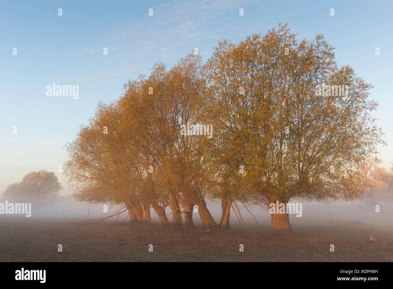 Row of pollard willows / pollarded white willows (Salix alba) in field in the mist in autumn - Stock Image
