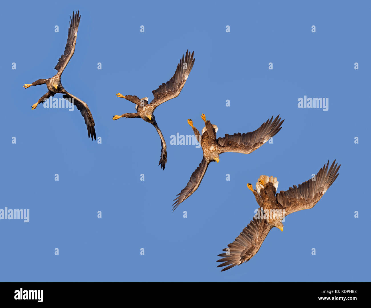 Sequence of white-tailed eagle / sea eagle / erne (Haliaeetus albicilla) in flight diving against blue sky - Stock Image