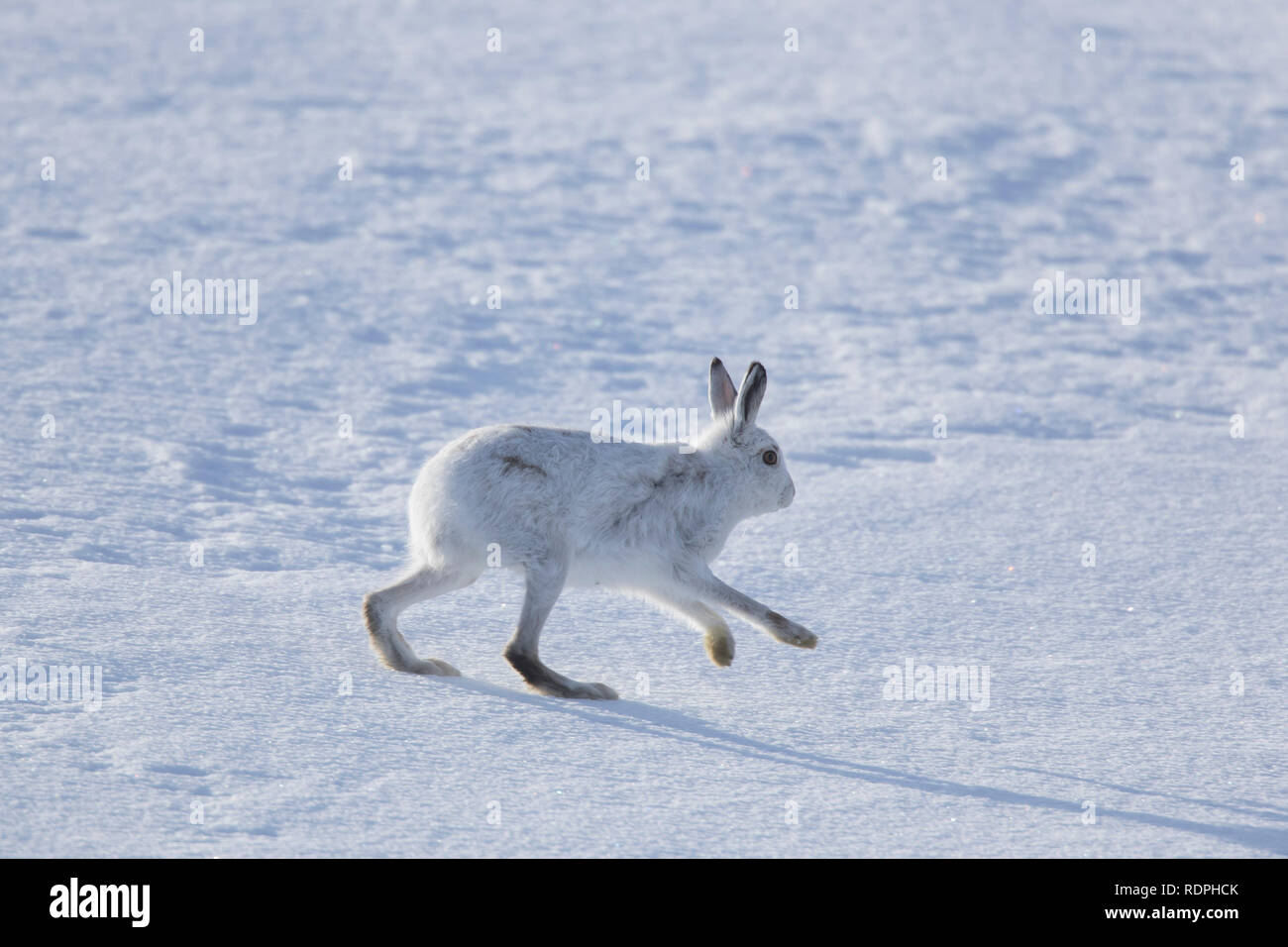 Mountain hare / Alpine hare / snow hare (Lepus timidus) in winter pelage running in the snow, Cairngorms National Park, Scotland, UK - Stock Image