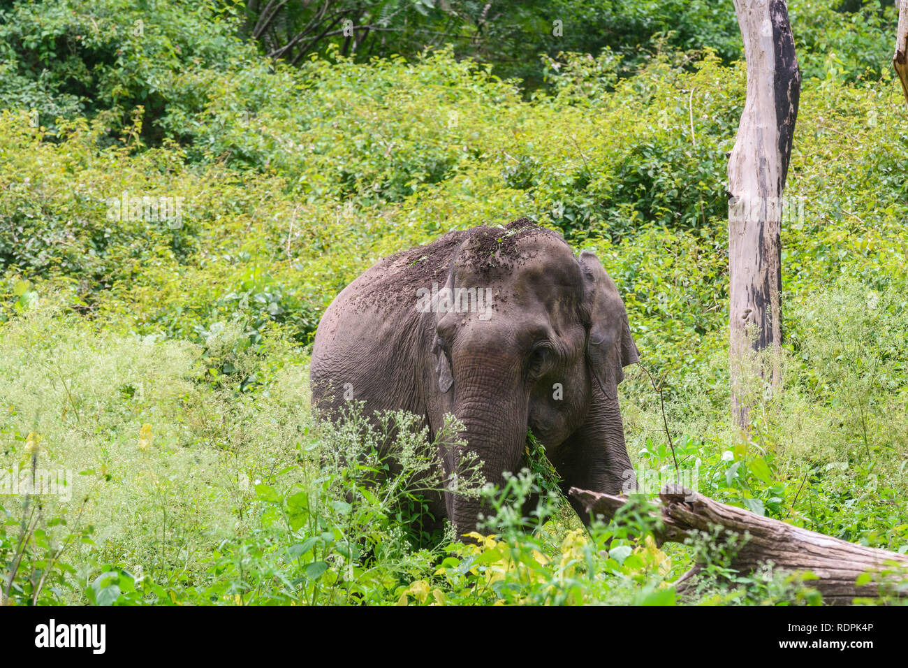 Indian Elephant, Elephas maximus, Bandipur National Park and Tiger Reserve, Karnataka, India - Stock Image