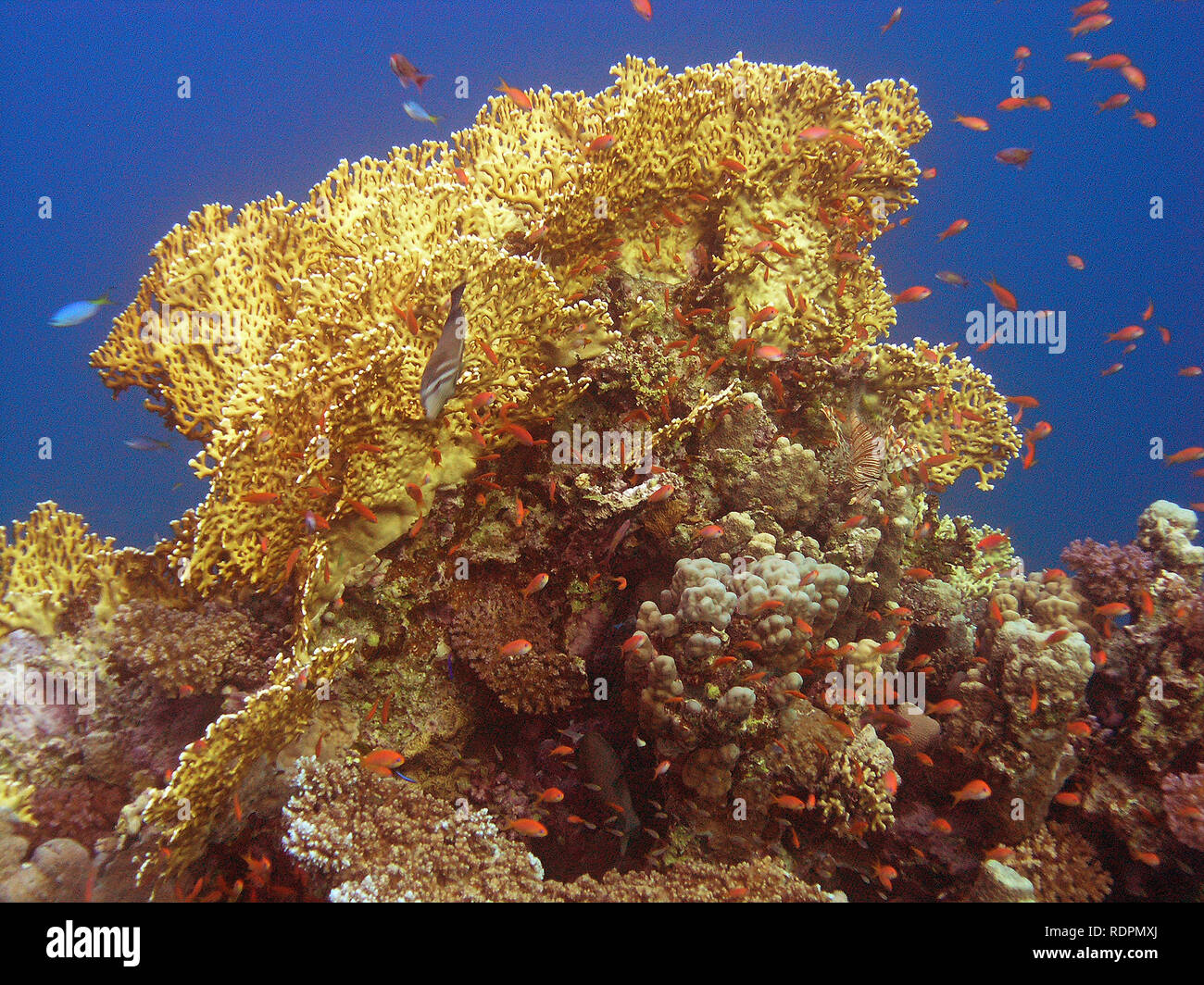 Fire Coral (Millepora dichotoma) - Stock Image