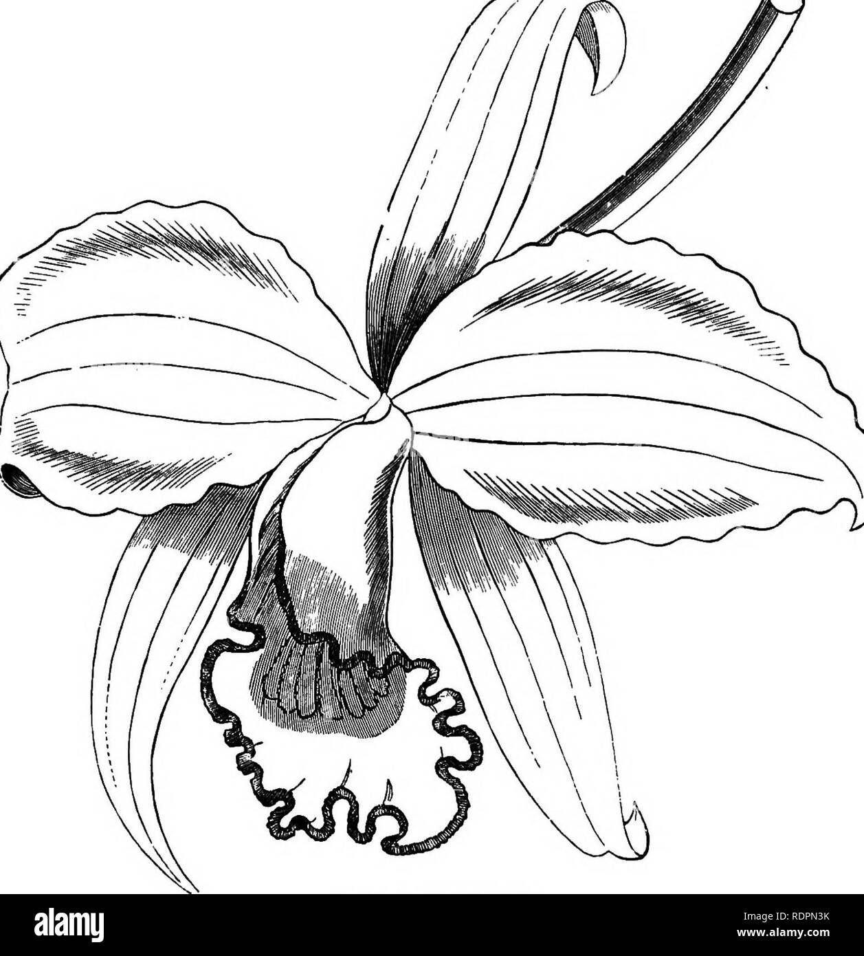 . The orchid-grower's manual, containing descriptions of the best species and varieties of orchidaceous plants in cultivation ... Orchids. LAKLIA. 439 L. LAWRENCEANA—See Laelia crispilabia. L. LEEANA, Bchh. f.—This is a very dwarf-growing and distinct Laelia, supposed to be a natural hybrid. In growth it somewhat resembles Cattleya inarginata, but the pseudobulbs and leaves are considerably longer. The flowers are very handsome, the sepals and petals being rosy-magenta, and the anterior lobe of the lip bright magenta-crimson; the lateral lobes of the lip, which enclose the column, are pale ros - Stock Image