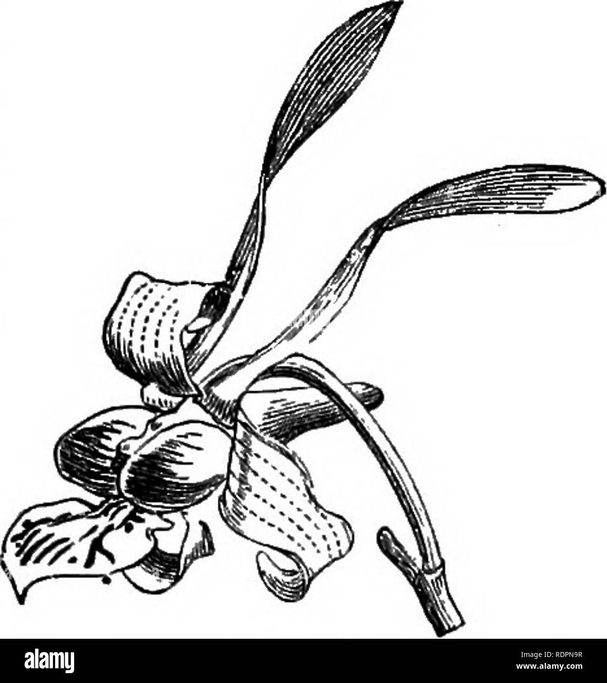 . The orchid-grower's manual, containing descriptions of the best species and varieties of orchidaceous plants in cultivation ... Orchids. DENDROWUM. 333 D. CRYSTALLINUM, Edih. /.âA distinct and beautiful species, with terete somewhat slender striate pendulous stems, which are destitute of the knotted joints so conspicuous in some of the allied plants. The distichous linear- lanceolate acuminate leaves are produced on the young stems, and fall away before the flowers are developed. The flowers are of moderate size, and freely produced; the sepals and petals white tipped with magenta; the lip o - Stock Image