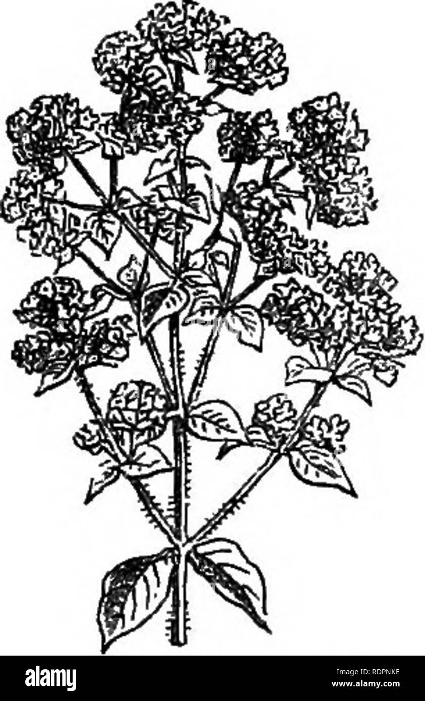 . My garden, its plan and culture together with a general description of its geology, botany, and natural history. Gardening. FlG. 198.—Summer Savory. Fig. 199.—Common Marjoram Fig. 197.—Sweet Basil. mer Savory {Satureia hortensis, fig. 198) is sown in April. Both kinds may be used green, and should be cut and dried for winter use when the flower is about to expand. Marjoram {Origanuin, fig. 199) is another herb much used in cookery. It is propagated by division. Knotted Marjoram {Origaymm Majorana, fig. 200) is in this country an annual, and requires the seed to be sown every spring. We grow  Stock Photo