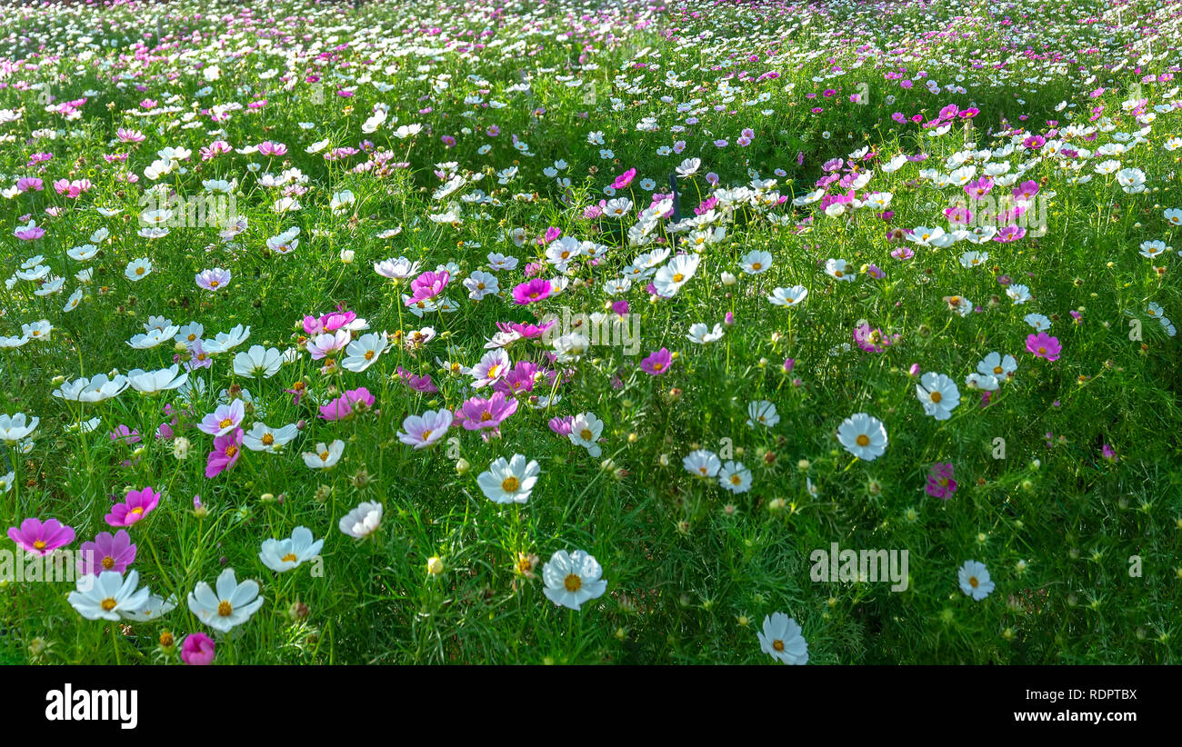 Cosmos bipinnatus flowers shine in the flower garden with colorful shimmering bonsai and beautiful. This flower is like stars sparkling in the sky - Stock Image