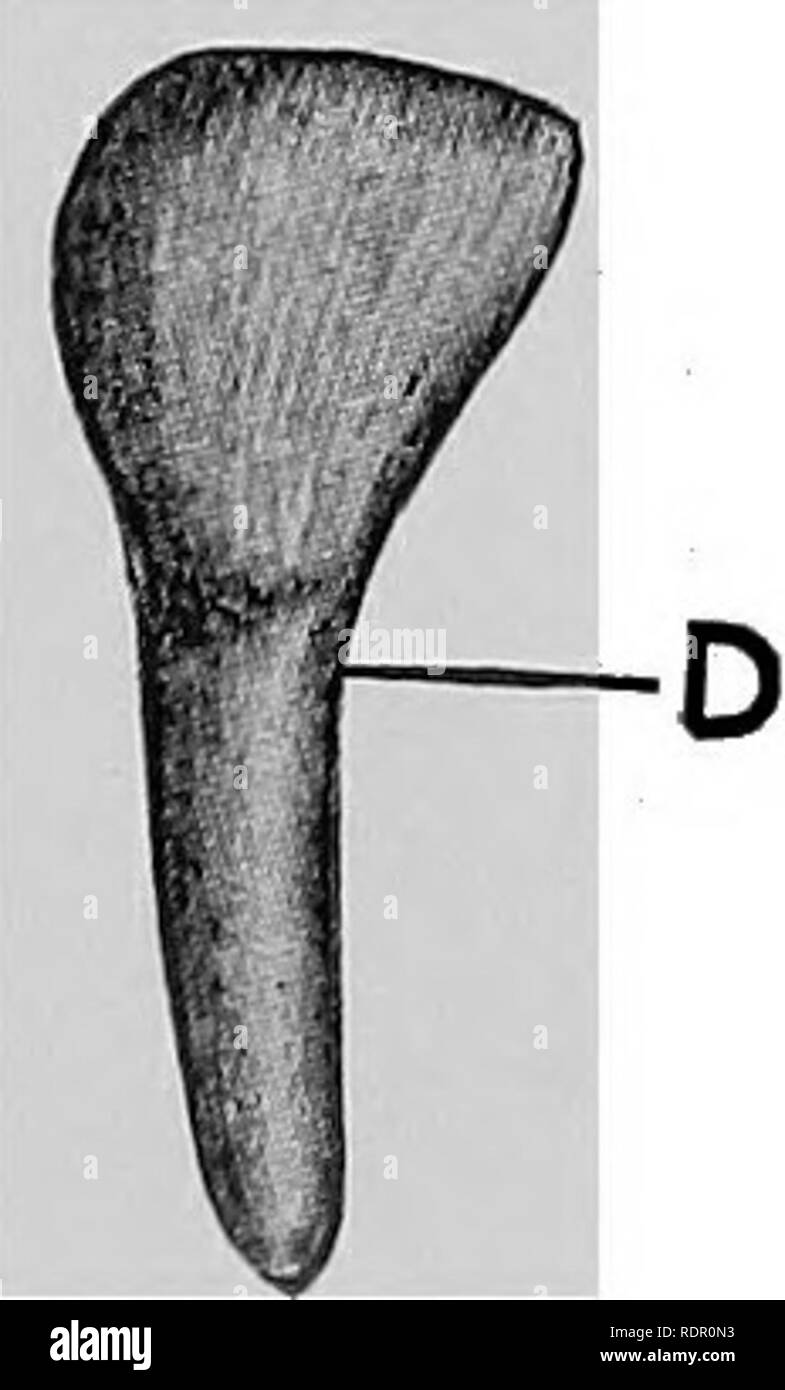 . Veterinary surgery ... Veterinary surgery; Veterinary pathology; Horses; Teeth; Domestic animals. Fig. 24. Incisor Teeth of the Ox. A. Lingual surface of lateral incisor. B. Labial surface of central incisor. C. Lingual surface of corner incisor. D. Labial surface of intermediate incisor. The length of the posterior molars is about 8^ centimeters, and that of the anterior about 5V2 centimeters. Each tooth presents three roots, two of which project externally and one internally. In situ they consist of a continuous arcade, narrow an- teriorly and becoming gradually wider toward the posterior. - Stock Image