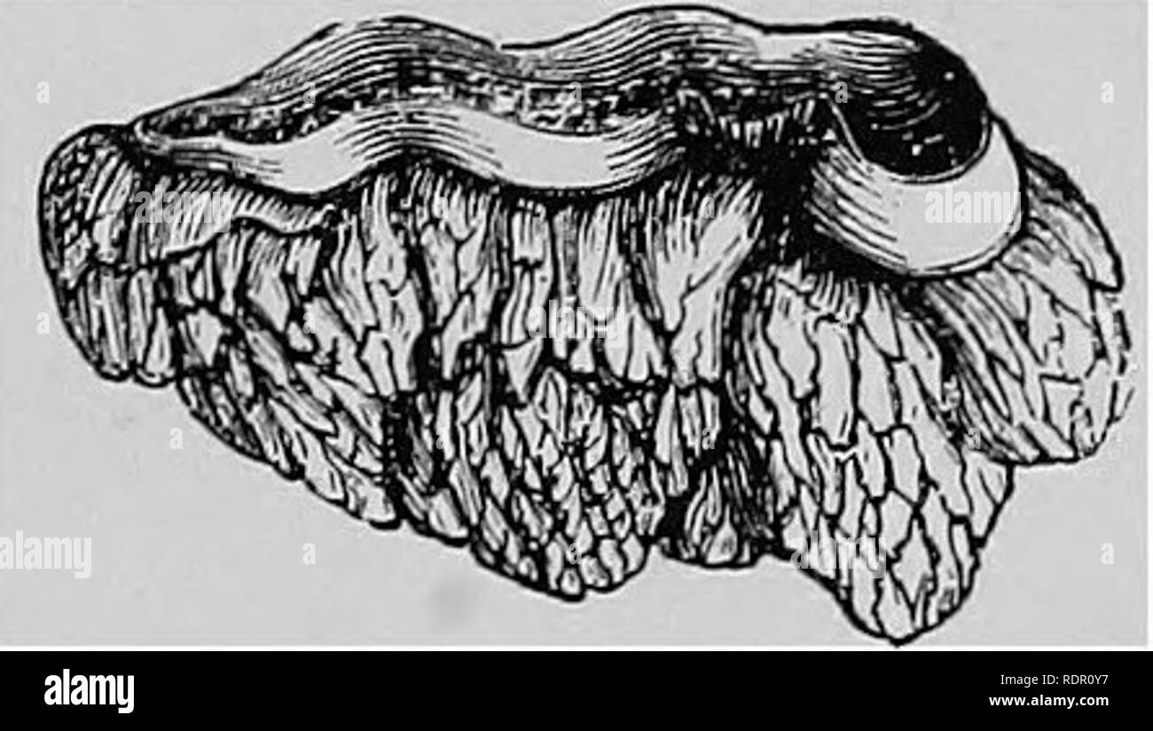 . Veterinary surgery ... Veterinary surgery; Veterinary pathology; Horses; Teeth; Domestic animals. Fig. 3. Enamel (Magnified). Fig. 4. The Enamel Organ Dissected from the First Molar of a Small Ruminant. folded into the table to form the well known depression characteristic of these teeth, the infundibulum. In the virgin tooth it covers the entire table surface, but soon wears of? at that point from the mastication of food, leaving only its edges projecting at the grinding surface. In the incisor teeth it is the outer covering of both the labial and lingual surfaces, throughout the life of th - Stock Image