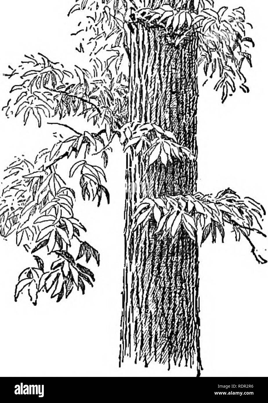 . Cyclopedia of farm crops, a popular survey of crops and crop-making methods in the United States and Canada;. Farm produce; Agriculture. TANNING MATERIALS TANNING MATERIALS 625 outer bark. Other pine barks contain 2 to 7 per cent of tannin. Sitka spruce (Picea Sitchensis) is native along the coast from Alaska to northern California. The bark contains about 17 per cent of tannin. Norway spruce (Picea excelsa). The bark contains 7 to 13 per cent of catechol tannin and much fermentable sugar. It is used largely in Austria and is the source of the so-called larch bark extract. White spruce (P. a - Stock Image
