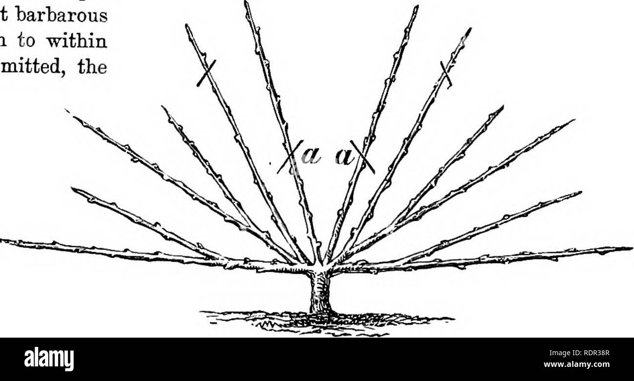 """. Cassell's popular gardening. Gardening. Pig. 7.0iie-yeili' Trained Tree. Pig. 8.—Nursery Trained Tree. object being the production of an evenly-balanced growth of a leader and two side shoots. Disbudding, stopping, and -training result in a """" one-year trained tree """"with three shoots (Fig. 7). Cutting back is again deferred until the spring, when each shoot, in continu- ance of a ba-rbarous custom, is shortened to within a few inches of its base. By three strokes of the knife each shoot is maimed, and the foundation of gumming and premature decay is laid; but the operation leads Br - Stock Image"""